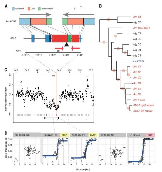 摘要:小RNA的大功能 小RNAs(sRNAs)可以调控植物和动物基因。本研究发现金鱼草群体范围内花色样式差异是由一个反向重复产生的sRNAs引起,其转录本的复杂性和大小表明该重复是在microRNA进化相关通路上的一种中间产物。sRNAs抑制一种色素合成基因的表达,从而在传粉昆虫进入花内的部位产生黄色亮斑。该反向重复在自然混合区渐变群中表现出等位基因频率的陡然增高,表明该等位基因受到选择。因此,sRNAs的互作调节是选择的结果,并且造成了进化上花色表型的多样性。  发表时间:2017年11月17